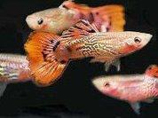 Женщины ведут себя, как рыбки гуппи