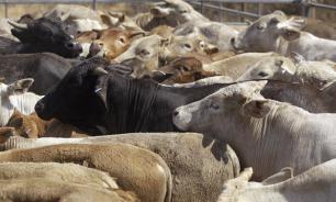 В Ленобласти фермера убил бык