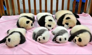 В Китае есть ясли для медвежат панд