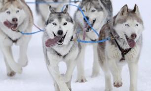 Сибиряки первыми приручили собак
