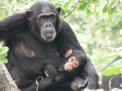 Шимпанзе разговаривают, лгут и сочиняют стихи