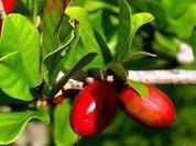 Тайна магической ягоды раскрыта