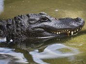 Отчего крокодилы так горько рыдают