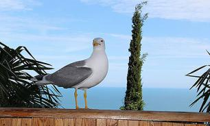 Чайка с острова Сьес показала оказалась  отличным фотографом. Видео