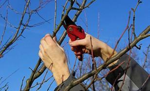 Обрезка деревьев и кустарников: распространенные ошибки