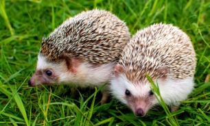 Все о ежах: семь фактов об этих очаровательных животных. Часть 1