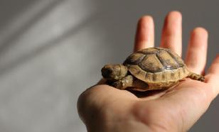 Заводим дома черепаху