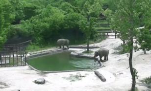 Два слона смогли спасти тонущего слоненка в бассейне зоопарка Сеула