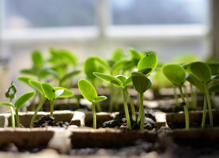 Правила для выращивания крепкой рассады