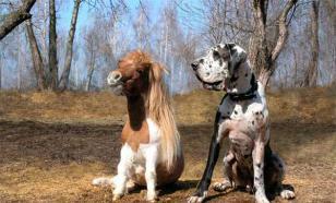 Мини лошадь – маленькая, но выносливая