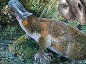 Ученые ищут ядовитые шпоры  древнего утконоса