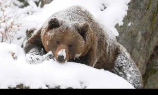 Медведь пришел на зимнюю спячку в закрытый город