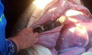 Рыбак вспорол живот акулы и выпустил на волю 98 акулят