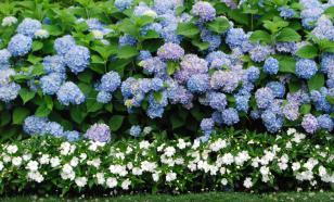 Садовые гортензии: выбор сортов, посадка, уход