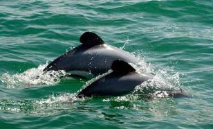 Около Фукусимы начали гибнуть радиоактивные дельфины