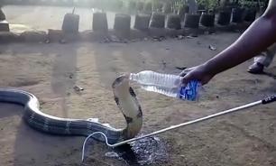 Страдавшую от жажды кобру напоили водой из бутылки. ВИДЕО