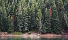 Сосны и ели гибнут в засуху: причины и последствия