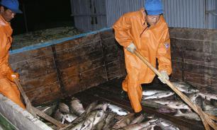 На Дальнем Востоке портятся горы лосося