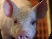 Праздник свинины. Цены начинают снижаться