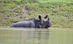 Из-за наводнения в индийском Нацпарке тонут редкие носороги