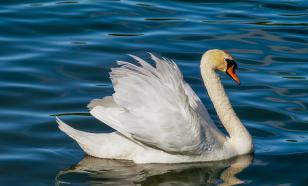 Учёные: агрессия лебедей направлена в основном на сородичей