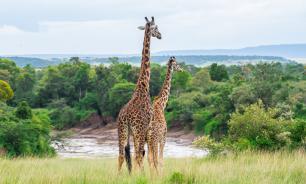 Жирафы, акулы и скаты пополнили список исчезающих зверей