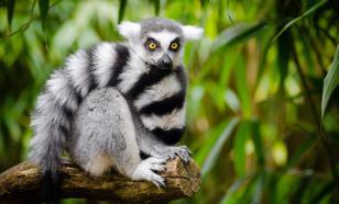 Зоологи открыли на Мадагаскаре новый вид мышиных лемуров
