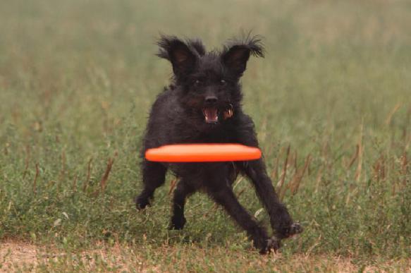 Спортивной собаке – спортивного хозяина: Чемпионат России по дог-фризби