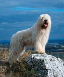 Южнорусская овчарка - гордость отечественного собаководства