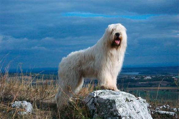 Южнорусская овчарка - рассказываем о породе
