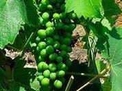 Экстракт виноградных косточек препятствует росту раковых клеток не менее эффективно, чем химиотерапия