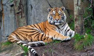 Даже рыкнуть не успел: в США усыплен амурский тигр из России