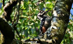 Орнитологи отследили эволюцию стука дятлов