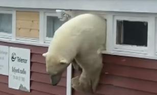 New York Times: Архангельская область переживает нашествие белых медведей