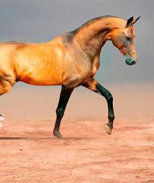 Ахалтекинец - лошадь императоров