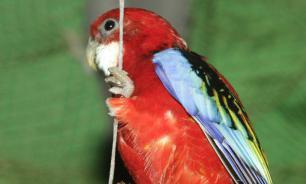 Биологи: попугаи понимают основы теории вероятностей
