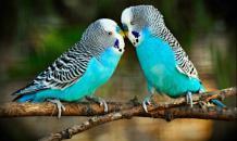 Руководство по обучению попугаев для начинающих. Часть 2