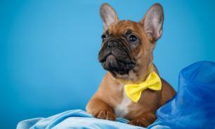 В мире собак – французский бульдог в разных странах мира