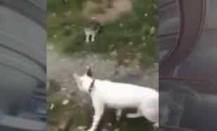 """Видео, как хозяйка бультерьера заставляет его """"сжирать котят"""", потрясло Харьков"""