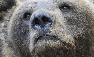 Собаку от медведя спас собственный лишний вес