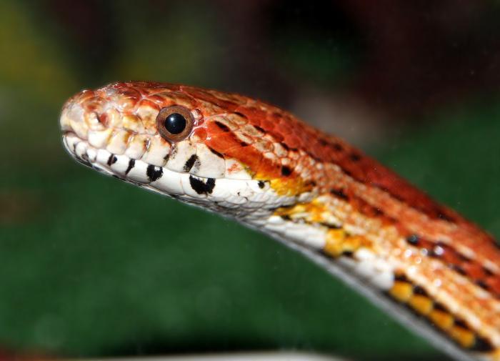 Биологи изучили эволюцию цвета кожи у змей