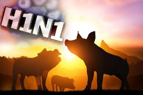 Свиной вирус перекидывается на людей