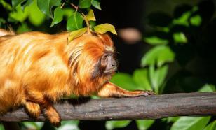 Биологи: вакцинация обезьян поможет предотвратить новую пандемию