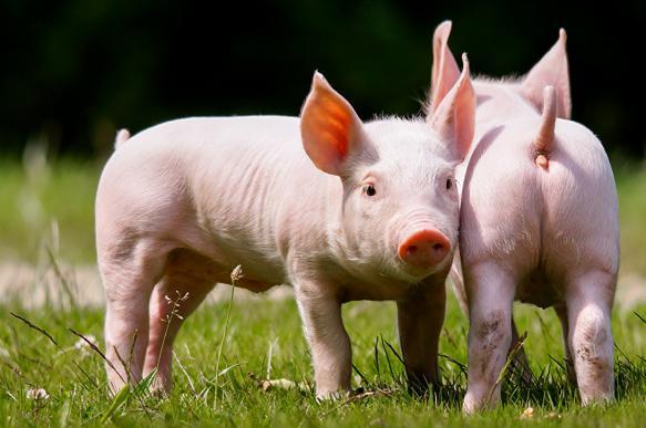 """""""Счастливые свиньи"""" Германии"""