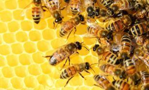 Пчелы общаются между собой на языке танцев