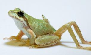 Исследователи из университета Тафтс вырастили лапу у лягушки