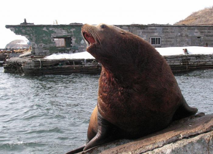 В Приморье браконьеры ловят морского ежа