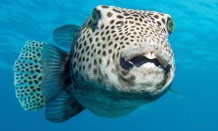 У побережья Турции зафиксировали нашествие ядовитых рыб фугу