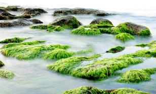 В Бразилии создали технологию изготовления оптоволокна из водорослей