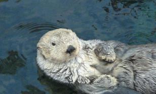 На Аляске выдра запрыгнула в лодку, чтобы спастись от косатки